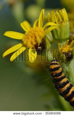 innabar caterpillar on ragwort