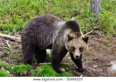 Bear In Natural Surroundings