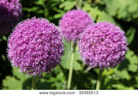 Alium flower