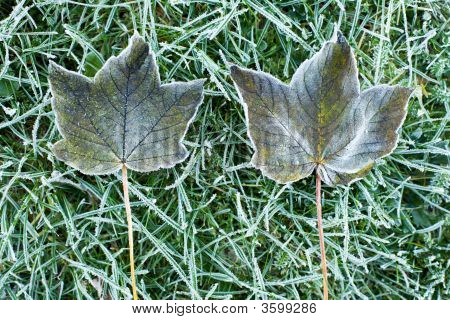 Two Frozen Leaves On Grass