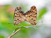 stock photo of animals sex reproduction  - Mating butterflies  - JPG