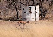 stock photo of bosveld  - Bow Hunters Hideout with Impala Walking Past