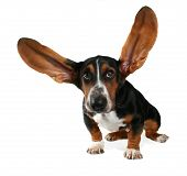 stock photo of funny animals  - a basset hound with long flying ears - JPG
