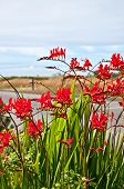 picture of crocosmia  - This red flower is a perennial bulb called Crocosmia Lucifer Montbretia plant with dunes and ocean in the far distance - JPG