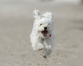 pic of cockapoo  - Small White Cockapoo is Airborne as it Runs For Joy on a Sandy Beach  - JPG