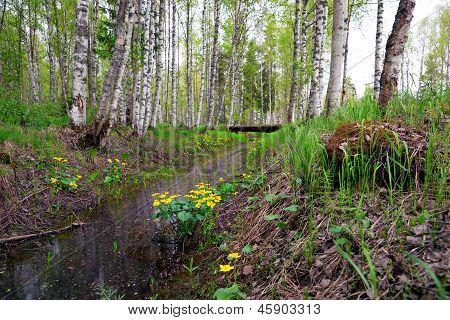 Marsh Marigold Flowers In Scandinavian Forest