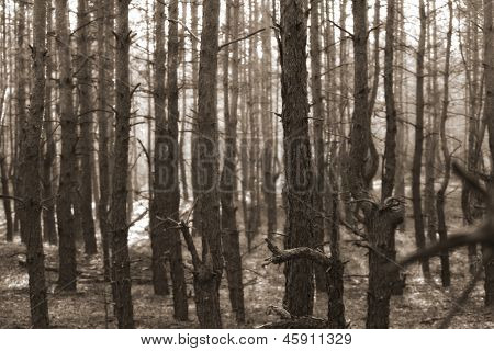 many trees in coniferous forest