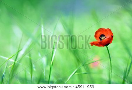 Red poppy (Papaver rhoeas) with out of focus  field in spring time