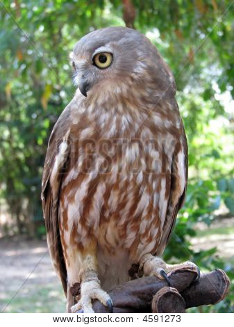 Barking Owl Vertical