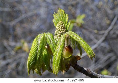 Dehiscing On Horse-chestnut Bud