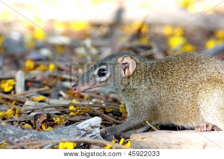 Common tree shrew Tupaia glis