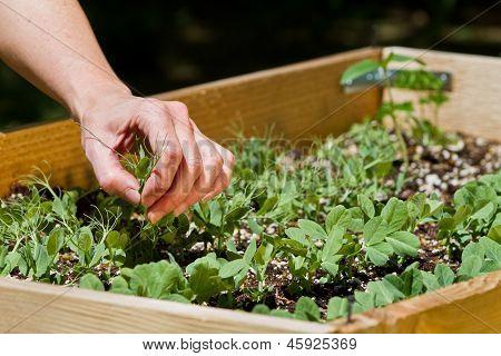 Home Gardening, Peas
