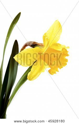 Yellow Flower Of A Narcissus.