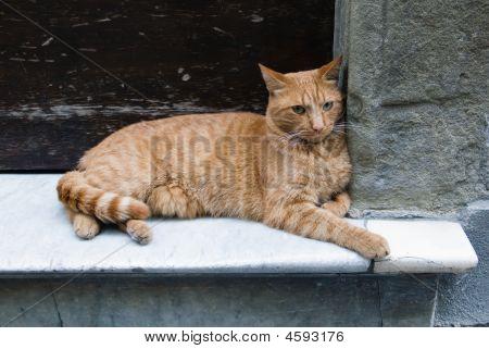 Red, Male Cat