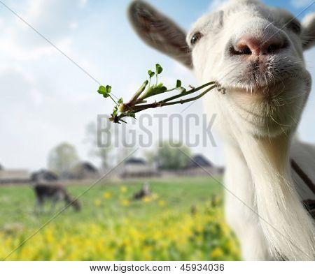Funny cabra pastando en un prado de primavera