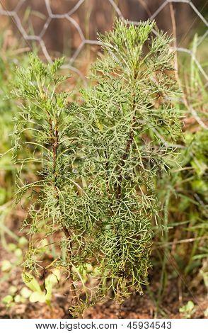 Wormwood herb Absinthe Artemisia absinthium