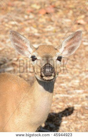 Close Up Of Key Deer