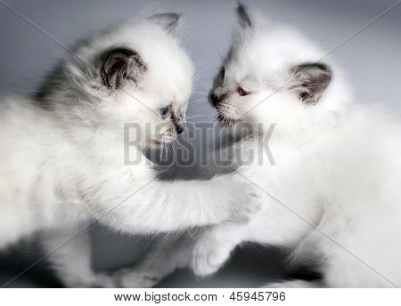 Two Kitten Playing