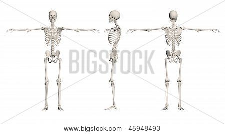 Human Skeleton - Male