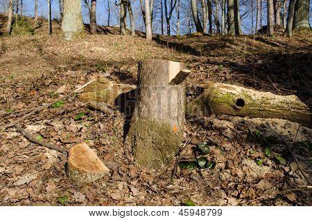 Snijden van boom stomp verf Mark ontbossing gebied