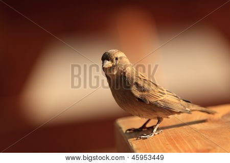 Sparrow Standing On A Table