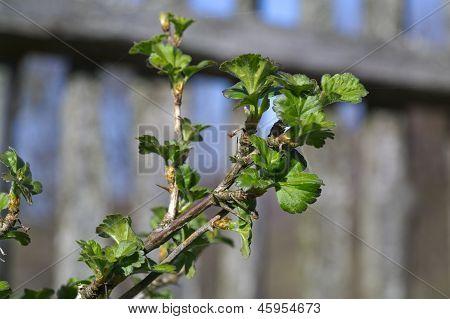 Dehiscing On Gooseberry Bush Branch