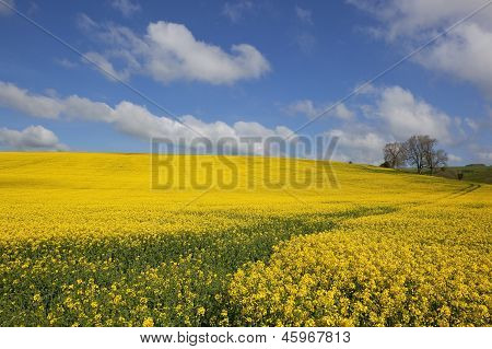 Colorful Canola