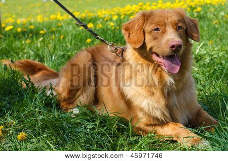 Vector Sketch Two Dog Breed Nova Scotia Duck Tolling Retriever