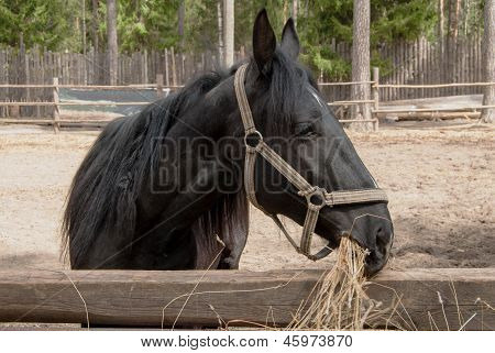 Portrait Of The Black Horse Standing And Eating Silage