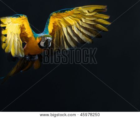 Flying Ara on a dark background