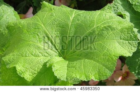 Large Green Hollyhock Leaf with Sun Shining on it