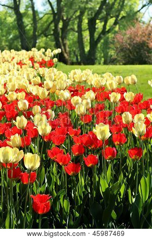 Red And Light Yellow Tulips Garden