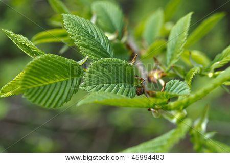 Dehiscing en hojas de Hazel