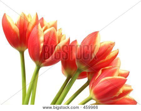 Tulips - Tulipa Gesneriana