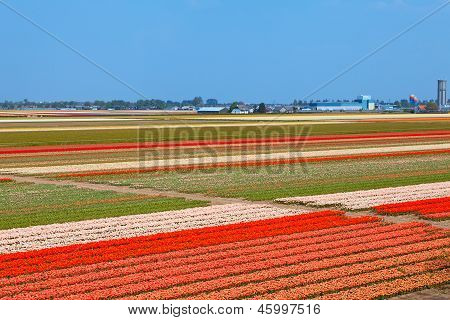 Dutch Bulb Field Of Colorful Tulips Near Lisse