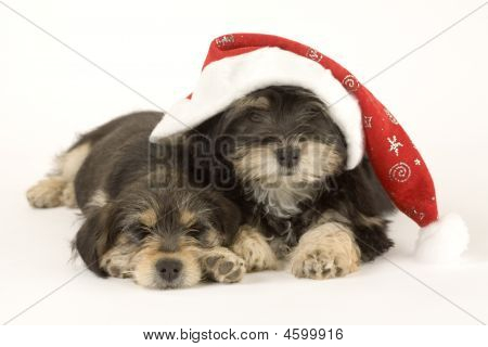 Two Cute Puppies Brothers And Santa Hat Isolated
