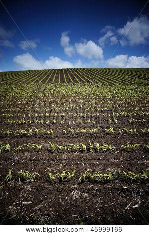 Rows of golden corn