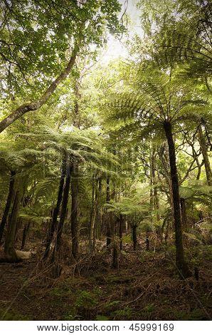 Giant tree ferns, New Zealand.