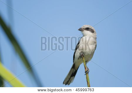 Loggerhead Shrike Perched
