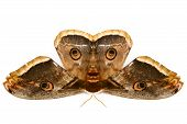 The Beautiful Giant Silk Moth Butterfly