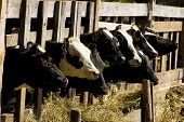 stock photo of feedlot  - Black and white cows feeding hay in a farm - JPG