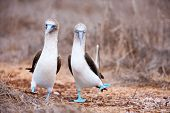 stock photo of blue footed booby  - Couple of blue footed boobies performing mating dance - JPG