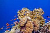 coral reef with hard corals and exotic fishes at the bottom of tropical sea