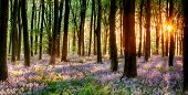 stock photo of sunrise  - Bluebell woods in early morning sunrise with sunlight bursting through the trees - JPG