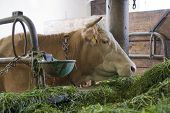 picture of feedlot  - head of a cow inside of a cow barn in Southern Germany  - JPG