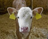 stock photo of dairy barn  - frontal shot of a calf inside of a cow barn in Southern Germany - JPG