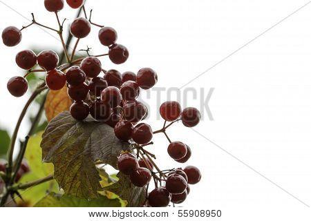 European Cranberrybush, Viburnum Opulus