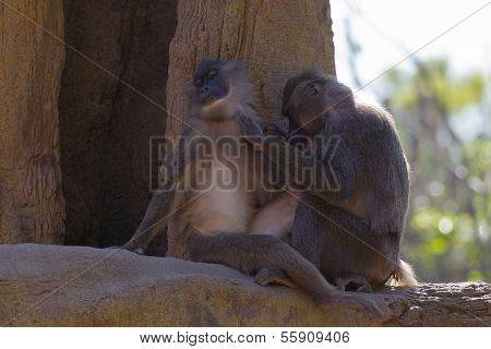 Monkey (mandrillus Leucophaeus)