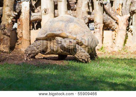 Big Seychelles Turtle