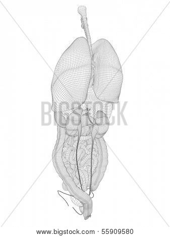 High resolution concept or conceptual anatomical human man,3D wireframe mesh digestive system isolated on  white background